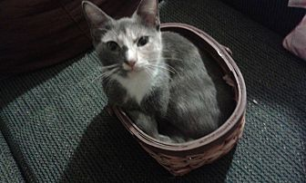 Domestic Shorthair Cat for adoption in Ocala, Florida - Pearly Baker