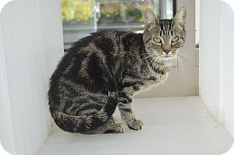 Domestic Shorthair Cat for adoption in Prince George, Virginia - Haley