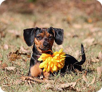 Miniature Pinscher/Dachshund Mix Dog for adoption in Yadkinville, North Carolina - Bella