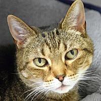 Adopt A Pet :: Bella Two - Norwalk, CT