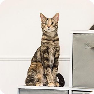 Domestic Shorthair Cat for adoption in St. Paul, Minnesota - Triscuit