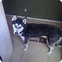 Adopt A Pet :: Blue - Los Banos, CA