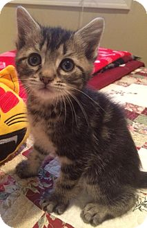 Domestic Shorthair Kitten for adoption in River Edge, New Jersey - Alatar