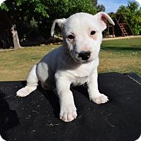 Adopt A Pet :: Luci - Goodyear, AZ