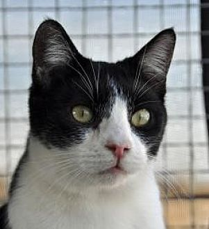 Domestic Shorthair Cat for adoption in Alamogordo, New Mexico - PEPSI