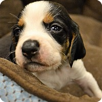 Adopt A Pet :: Sargent Tibbs - Lake Odessa, MI