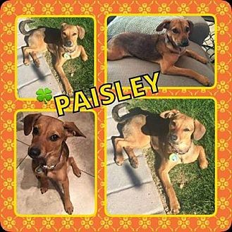 Dachshund Mix Puppy for adoption in Scottsdale, Arizona - Paisley