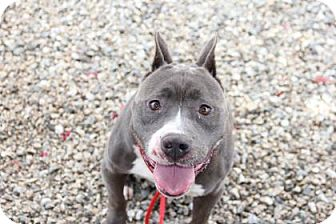 Pit Bull Terrier Mix Dog for adoption in Greensboro, North Carolina - Montell