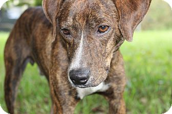 Mountain Cur Mix Dog for adoption in SOUTHINGTON, Connecticut - Mason