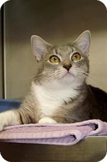 American Shorthair Cat for adoption in Englewood, Florida - Bean