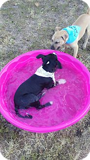 American Bulldog Mix Puppy for adoption in Dallas, Texas - Valentino