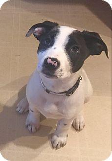 Collie Mix Puppy for adoption in DeForest, Wisconsin - Keegan