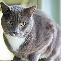 Adopt A Pet :: Mr Gray - Idyllwild, CA