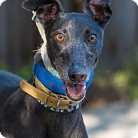 Adopt A Pet :: Foxy - Walnut Creek, CA