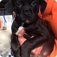 Adopt A Pet :: Rowan - Cashiers, NC