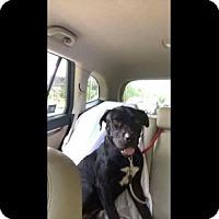 Labrador Retriever/Mastiff Mix Dog for adoption in Valley Stream, New York - Dexter