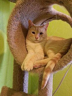 Domestic Shorthair Cat for adoption in Tucson, Arizona - Dash