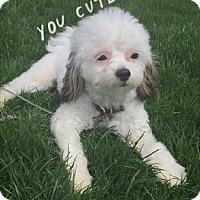Adopt A Pet :: Lulu - Libertyville, IL