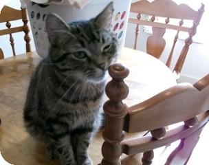 Domestic Shorthair Cat for adoption in Orillia, Ontario - Gizmo