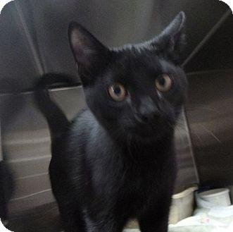 Domestic Shorthair Kitten for adoption in St. Petersburg, Florida - Toby