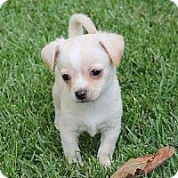 Adopt A Pet :: Brady - La Habra Heights, CA
