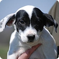 Adopt A Pet :: Evie - Providence, RI