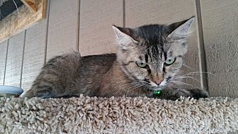 Domestic Mediumhair Cat for adoption in Madera, California - Miss Kitty Glitter
