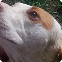 Coonhound Mix Dog for adoption in Waxhaw, North Carolina - Ivy