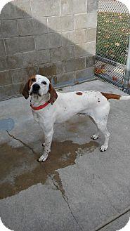 English (Redtick) Coonhound/Hound (Unknown Type) Mix Dog for adoption in Fremont, Michigan - Winchester
