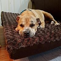 Pit Bull Terrier Mix Dog for adoption in Gilbertsville, Pennsylvania - Skylar - Senior