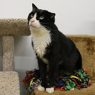 Domestic Shorthair Cat for adoption in Morgan Hill, California - Dorothy