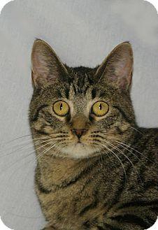 Domestic Shorthair Kitten for adoption in Hawk Point, Missouri - Ladue