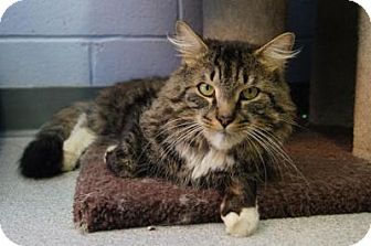 Maine Coon Cat for adoption in New Milford, Connecticut - Chauncey