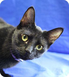 Domestic Shorthair Cat for adoption in Winston-Salem, North Carolina - Ester