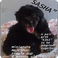 Adopt A Pet :: Sasha (in adoption process) - El Cajon, CA