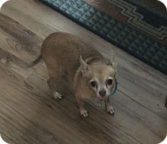 Chihuahua Dog for adoption in Lehigh, Florida - Molly