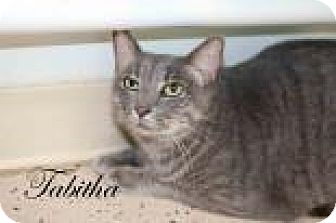 Domestic Shorthair Cat for adoption in Middleburg, Florida - Tabitha