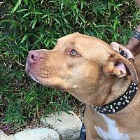 Adopt A Pet :: Roo - Ocean Ridge, FL