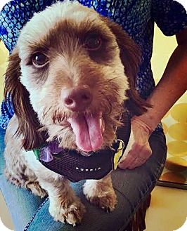 Dachshund/Poodle (Miniature) Mix Puppy for adoption in Beverly Hills, California - FRED