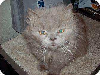 Persian Cat for adoption in NEWCASTLE, California - Mr.Tuffy