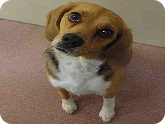 Beagle Mix Dog for adoption in Ogden, Utah - Rosie