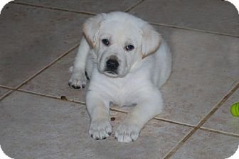 Labrador Retriever/German Shepherd Dog Mix Puppy for adoption in Minneola, Florida - Bailey