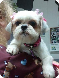 Shih Tzu Dog for adoption in Encinitas, California - Sugar
