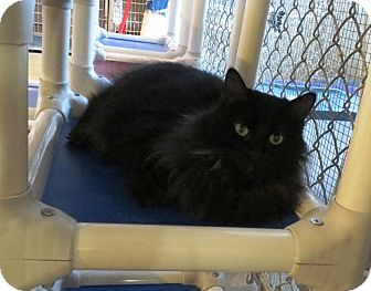 Domestic Longhair Cat for adoption in Geneseo, Illinois - Chrissy