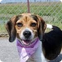 Adopt A Pet :: Dharma - Indianapolis, IN