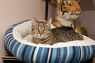 Domestic Shorthair Cat for adoption in Chicago, Illinois - Amber
