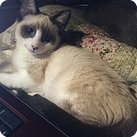 Adopt A Pet :: Pixel - Modesto, CA