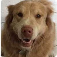 Adopt A Pet :: Lola (Courtesy Listing) - Gig Harbor, WA