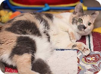 Domestic Shorthair Cat for adoption in Des Moines, Iowa - Dharma