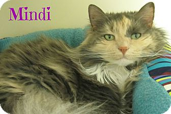 Domestic Longhair Cat for adoption in Menomonie, Wisconsin - Mindi